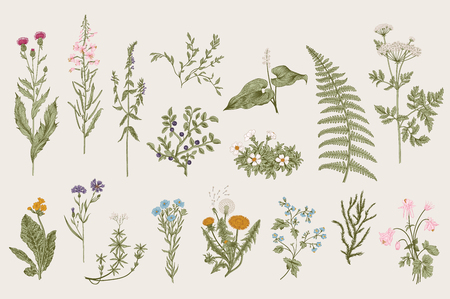 Illustrazione per Herbs and Wild Flowers. Botany. Set. Vintage flowers. Colorful illustration in the style of engravings. - Immagini Royalty Free