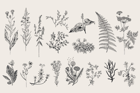 Illustration for Herbs and Wild Flowers. Botany. Set. Vintage flowers. Black and white illustration in the style of engravings. - Royalty Free Image
