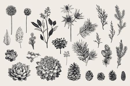 Illustration for Botanical vector vintage illustration. - Royalty Free Image