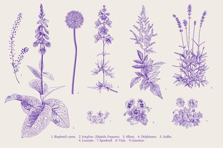 Illustration pour Set garden flowers. Classical botanical illustration. Ultraviolet - image libre de droit