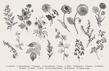 Illustration pour Vintage vector botanical illustration. Set. Autumn flowers and twigs. Black and white - image libre de droit