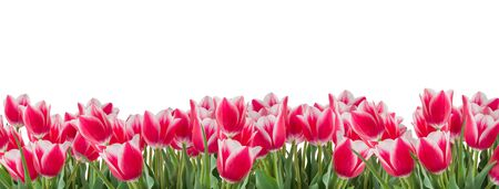 Photo pour Tulips pink and white flowers with green leaves isolated on white background. Horizontal copy space. Panoramic format - image libre de droit