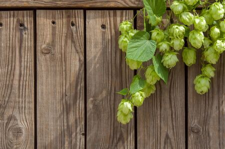 Photo for Green hop cones on  stem with leaves on wooden background vertical as frame for brewing or Oktoberfest, copy space - Royalty Free Image