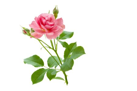Photo for Pink rose flower with buds and green leaves isolated on white background - Royalty Free Image