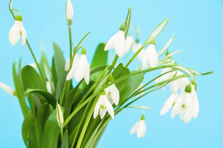 Spring flowers snowdrops bouquet on a blue background, close-up, small depth of field