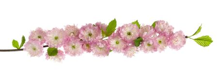 Almond pink flowers on branch with green spring leaves isolated on white background