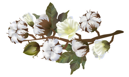 Illustration pour Cotton flowers in vector isolated on white background. 3d realistic clip art for labels: cottonseed oil, extract, fabrics, wool. - image libre de droit