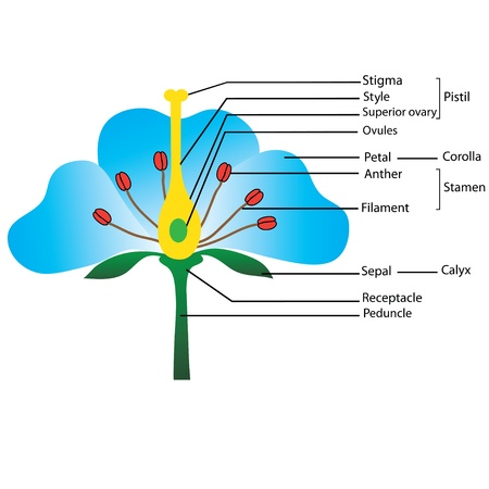 structure of the flower,