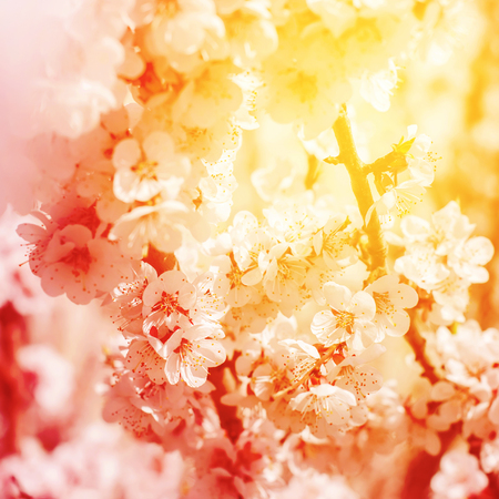 Beautiful White Cherry Blossom with bright sunny effect. Abstract floral natural background, spring time season. Little white flowers on tree branches. Wallpaper, selective focus