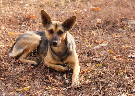 Photo pour A stray dog is lying on the dry grass. - image libre de droit