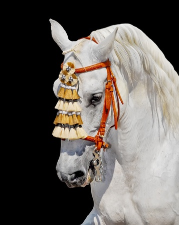 grey andalusian horse stallion in spanish decoration. aganst black background