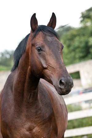 Vertical portrait bay thoroughbred horse on paddoñk