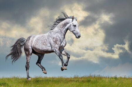 Photo pour Grey horse running on the grass on sky and could - image libre de droit