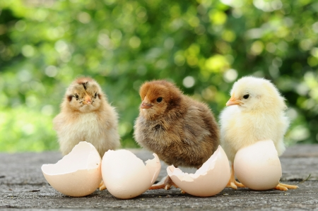 Small chicks and egg shellsの写真素材