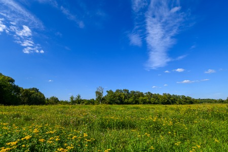 Photo pour Many beautiful yellow tansy in a meadow in summer - image libre de droit