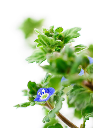 Nature defocused background with leaves and blue flowers.