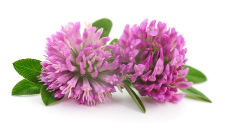 Photo pour Pink clover flowers on a white background. - image libre de droit