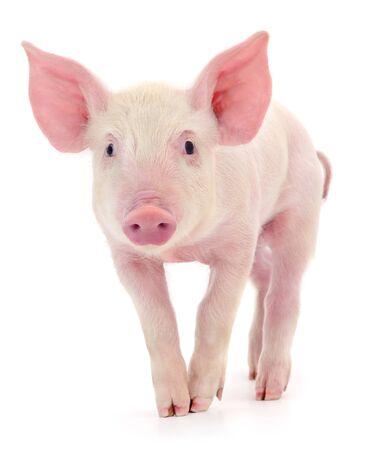 Foto de Pig who is represented on a white background - Imagen libre de derechos