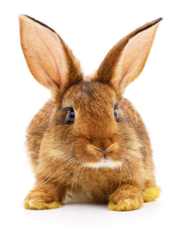Photo pour Small brown rabbit isolated on white background. - image libre de droit