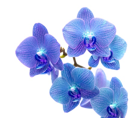 Beautiful blue orchid isolated on white background