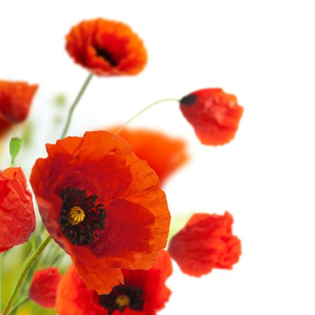 Foto de red poppies isolated on a white background in the corner of a page - Floral border - Imagen libre de derechos