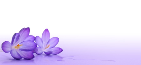 crocus flower over a white and violet background - macro