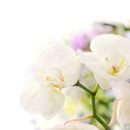 white orchids over a blur background with bokeh effect, with green yellow and purple colors, decorative background border