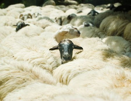 head of sheep that come out of herd