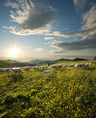 shepherd with dog and sheep that graze in flowered field at sunrise