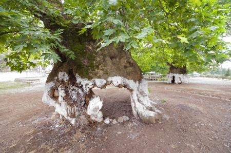 view of a plane tree with the trunk hollow near Elbasan, Albania
