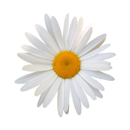beautiful flower white daisy on white background