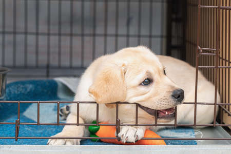 Photo for Cute six-week-old Labrador puppy bites an iron cage. puppy is teething - Royalty Free Image
