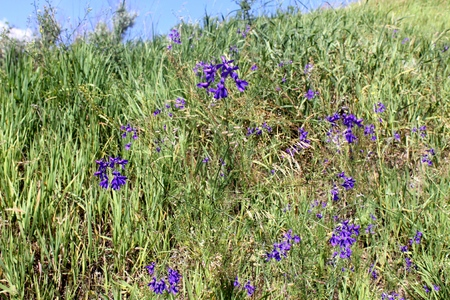 Forking Larkspur   Consolida regalis  on the meadow