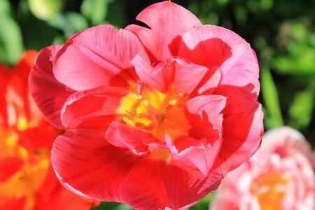 Photo pour Pink tulip - image libre de droit