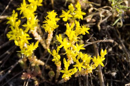 Goldmoss stonecrop flowers (Sedum acre) on meadow