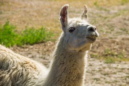 Portrait of a white lama. Llama in paddock