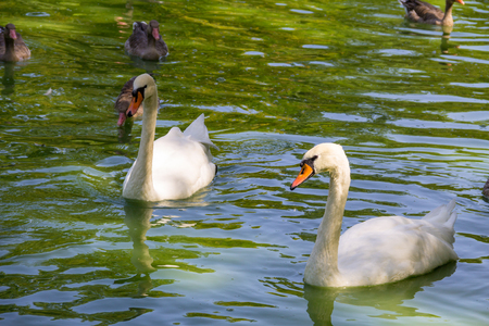 White swans and ducks swimming in the lake