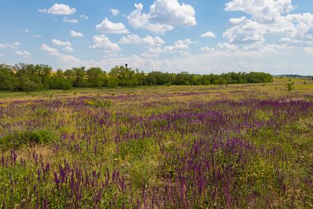 Meadow with wild purple salvia flowers. Summer landscape