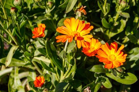 Orange calendula flower in garden