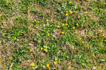 Yellow buttercups on the meadow