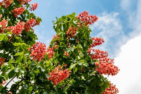 Photo for Blooming red horse-chestnut (Aesculus × carnea) at spring - Royalty Free Image