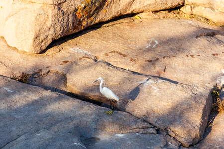 Photo pour Little egret (Egretta garzetta) standing on a stone - image libre de droit