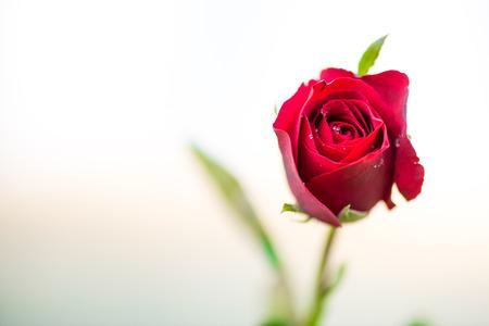 Foto de close up macro shot of a red rose - Imagen libre de derechos