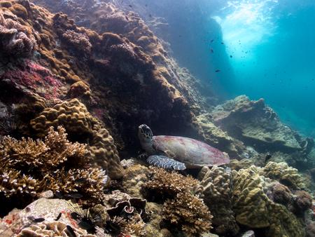Foto de Sea Turtle in Thailand ocean - Imagen libre de derechos