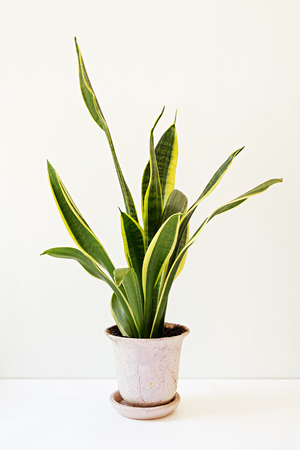 Sansevieria trifasciata, or the Mother-in-Law's Tongue in an old flowerpot on a white table.
