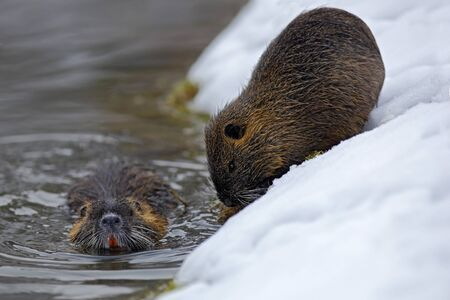 Nutria, Myocastor coypus, winter mouse with big tooth in the snow, near the river