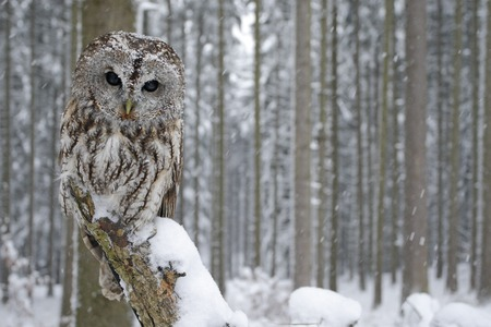 Tawny Owl snow covered in snowfall during winter, snowy forest in background, nature habitat