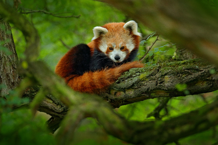 Red panda lying on the tree with green leaves. Cute panda bear in forest habitat. Wildlife scene in nature, Chengdu, Sichuan, China.