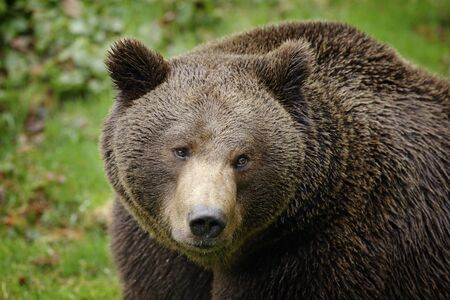 Photo pour Brown bear, close-up detail portrait. Brown fur coat, danger animal. Fixed look, animal muzzle with eyes. Big mammal from Russia. Aggressive animal. - image libre de droit