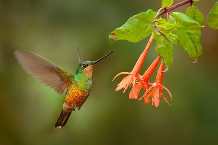Photo pour Hummingbird Golden-bellied Starfrontlet, Coeligena bonapartei, with long golden tail, beautiful action flight scene with open wings, clear green backgroud, Chicaque Natural Park, Colombia. Wild bird. - image libre de droit